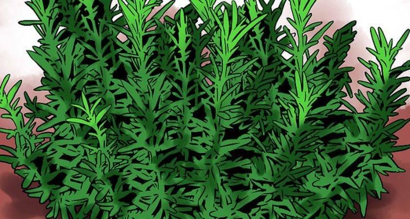 Grow Rosemary Indoors Wikihow