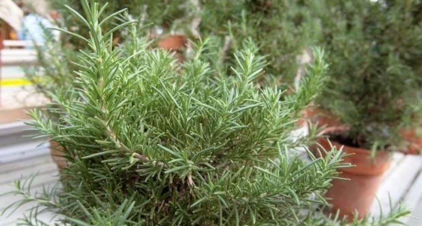 Growing Things Grow Rosemary Indoors Outdoors