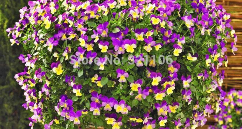 Horned Violet Seeds Viola Cornuta Hardy Perennial