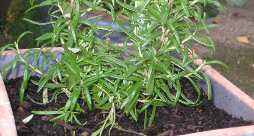 Perfect Growing Rosemary Indoors Kelsey Bass